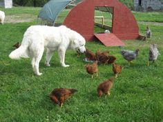 Maremma Sheepdog keeps predators from killing his chickens