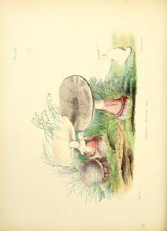 ser. 1 - Illustrations of British mycology, - Biodiversity Heritage Library