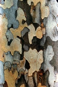 Sycamore bark. COURTESY ODNR. I used to love picking the puzzle pieces off of the trees.