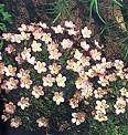 Pase Seeds - Saxifraga Mossy Species Mix Perennial Seeds, $3.49 (http://www.paseseeds.com/saxifraga-mossy-species-mix-perennial-seeds/)