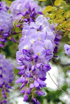 wisteria- these will forever remind me of my mom...I just dont know how I would place these in my tattoo since they hang