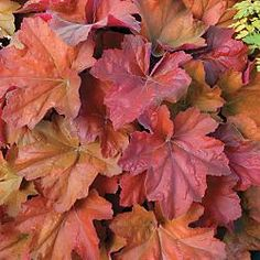 """heuchera southern comfort - shade garden. how could i not plant anything called """"southern comfort?"""""""
