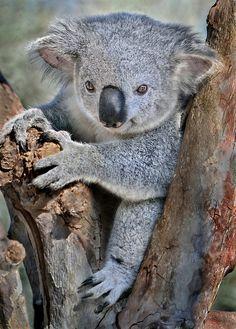 Sweet Little Koala