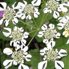 ombrellini pugliesi (Tordylium apulum)