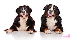 Bernese Mountain Dogs photographed by Shoot-Ya-Pooch Pet Photography www.shootyapooch.com
