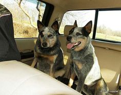 Cattle Dog Security System......don't leave home without it!!!!! Nobody touches Gus' truck.