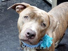 Manhattan Center URGENT! THIS DOG WILL BE EUTHANIZED UNLESS A HOLD IS PLACED ON HER BY NOON EST 6/8/14.  LOG IN TO THE AT RISK LIST TO PLACE A HOLD AND SAVE A LIFE.  http://www.nycacc.org/PublicAtRisk.htm  My name is GOLDIE. My Animal ID # is A1001596. I am a female br brindle and white pit bull mix. The shelter thinks I am 2 years old.