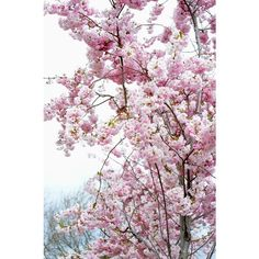 Cherry Blossom ❤ liked on Polyvore featuring backgrounds, pictures, nature, decor, image and filler