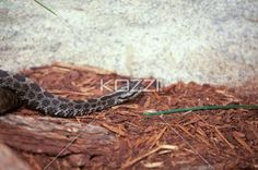 crawling rattle snake - Rattle Snake crawling on wood chips at a zoo.