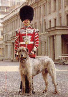 Irish Wolfhound, Conmael: Mascot of the Royal Irish Guard Regiment of the British Army British Army Uniform, Men In Uniform, British Uniforms, Scottish Deerhound, Irish Wolfhounds, Gentle Giant, Mans Best Friend, Cute Animals, Military Uniforms