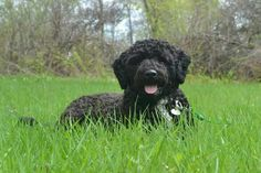 Pwd - portugese water dog ♡♡♡