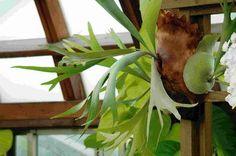 "Staghorn Fern Platycerium Hanging Basket 4"" Pot Nice Gift | eBay"