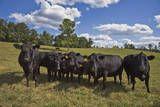 Cows and Clouds in a Field Veggoverføringsbilde av Henri Silberman