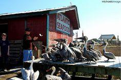Pelican Feeding.  Fernandina Beach FL