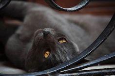 (cat,black and white,photography,golden eyes,beauty) Canon L Series, Golden Eyes, Black And White Photography, Amazing Art, Canon Ef, Portrait, Grey, Cute, Lenses