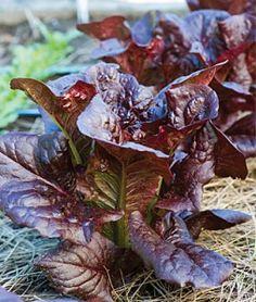 Lettuce King Crimson Hybrid   Garden Seeds and Plants