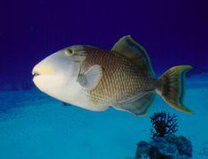 Gelbsaum Drueckerfisch - Gelbsaumdrückerfisch im Indischen Ozean (Pseudobalistes flavimarginatus).