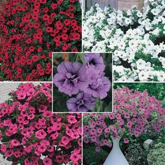 Cascadia Petunia Collection ... On Sale at Spring Hill Nursery