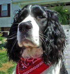 Springer Spaniels look like such a soulful, honest breed all-creatures-great-and-small