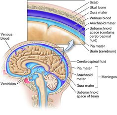 The meninges and ventricles of the CNS. Description from biology-forums.com. I searched for this on bing.com/images
