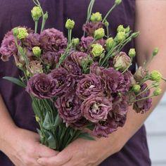 Rosanne Deep Brown - These are on my wish list for the flower farm. Cut Flower Garden, Flower Farm, Flower Gardening, Container Gardening, All Flowers, Colorful Flowers, Wedding Flowers, Drying Flowers, Single Flowers