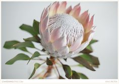 King Protea for your Midwest Wedding – king pink protea – Home Recipe