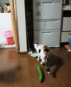 Cowardly cat surprised by evil cat-eating cucumber. PS I know this looks amusing but if you really love your pet please, please don't do this to your cat.