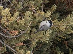 Chickadee https://www.facebook.com/CratersoftheMoonNationalMonument/photos/a.141570925961495.27337.136159059836015/686856524766263/?type=3