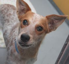 *SNICKERS-ID#A683021    Shelter staff named me SNICKERS.    I am a neutered male, brown and red merle Australian Cattle Dog mix.    The shelter staff think I am about 9 months old.    I have been at the shelter since Nov 30, 2012.