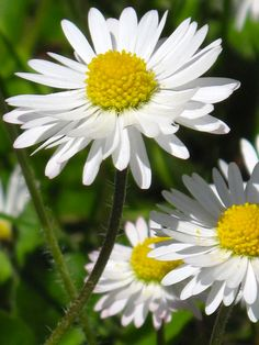 Daisies  (Photo by Suzanne C)