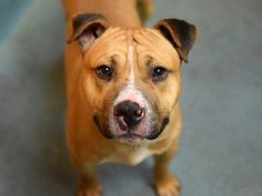 GONE - 01/29/15. Brooklyn Center -P  My name is CONNOR. My Animal ID # is A1025769. I am a male brown and white staffordshire and amer bulldog mix. The shelter thinks I am about 3 YEARS old.   For more information on adopting from the NYC AC&C, or to  find a rescue to assist, please read the following: http://urgentpetsondeathrow.org/must-read/