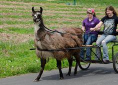Modern llama cart Llama Llama Red Pajama, Llama Alpaca, Dalai Lama, Funny Animal Pictures, Funny Animals, Pull Wagon, Okapi, Winter's Tale, Camels