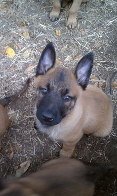 My family has a Belgian Malinois named Shadow, he looked just like this as a puppy. Now, my little sister and my dog are my best friends.