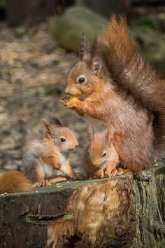 May I introduce my two little ones - Eichhörnchen/squirrel - Animals Cute Funny Animals, Cute Baby Animals, Animals And Pets, Amazing Animal Pictures, Beautiful Pictures, Squirrel Pictures, Black Cat Tattoos, Photo Animaliere, Cute Squirrel