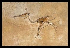 """Fossilized Pterosaur ► P̲r̲i̲c̲e̲: $290.00, ► To Buy Click Above Images ►Shipping worldwide,   ►This Item is an Identical Museum Reproduction -  Made of polymer Dimensions: 13.8"""" x 7.9"""" (35 cm x 20 cm)  #egyptian #Sculptures #ancientgallery"""