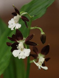 ALl you need to know about growing Calanthe Orchid (Calanthe discolor)