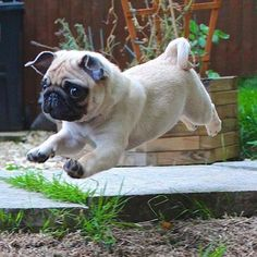 Happy Friday! #pugs