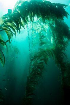 seetang --- seaweed