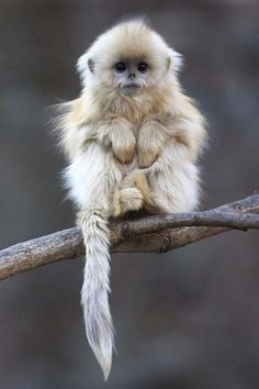 The Golden Snub Nosed Monkey