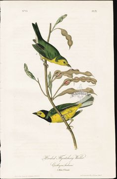 Hooded Flycatching Warbler & Erithryna herbacea from 1840 Audubon Birds America First Edition Special Bargains