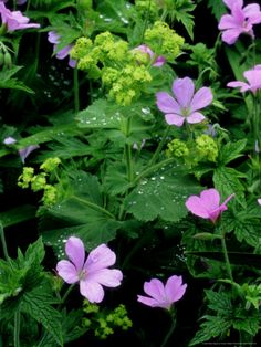PURPLE AND GREEN: Ladys Mantle and I think perennial geranium