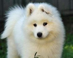 Skeeter the Samoyed