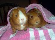 to hv guinnea pigs as pets..awww