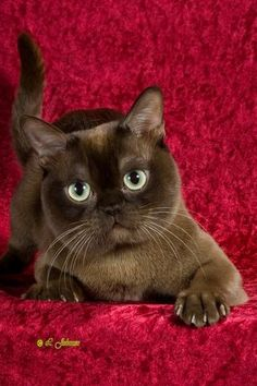 Contemporary American (Chocolate) Burmese #Brown And Red