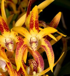 Sunset Valley Orchids - Den. Avrils Gold 'Don Brown'