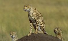 Cheetahs are from North America: Iconic African hunter during Ice Age