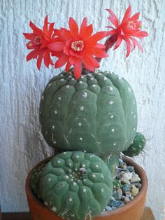 Matucana madisoniorum is a small, attractive, normally solitary, globose cactus that may clump with age. The stem is a flat globular to...