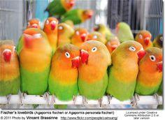 Fischer's lovebirds (Agapornis fischeri or Agapornis personata fischeri)
