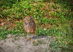 Burrowing Owl - Home Decor and Gifts! #Holidays #jbphotoart