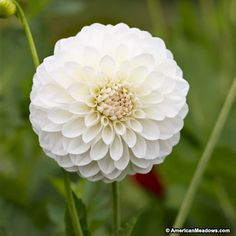 Dahlia Boom Boom White Ball/ blooms diameter / Mid-summer - frost / 3 bulbs (xmas gift) / 1 tuber per sq. Short Plants, Large Plants, American Meadows, Growing Dahlias, White Dahlias, White Flowers, Flower Farmer, Dahlia Flower, Dahlias